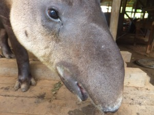 The lady tapir - single and ready to mingle!